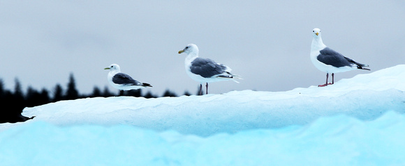 Sea Gulls at Le Conte Glacier, Alaska